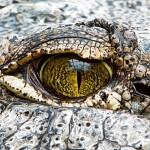 Krokoauge